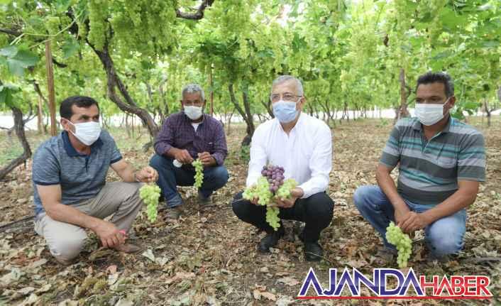 Başkan Tarhan üzüm hasadı yaptı
