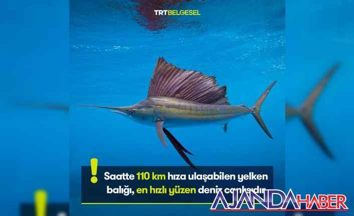 Yelken Balığı