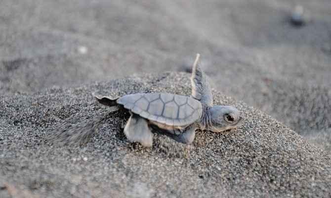 20 Bin Yavru Deniz Kaplumbağası Akdenize Kulaç Attı