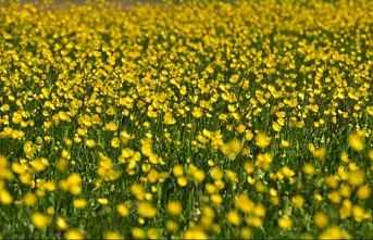 Bitlis'in Ahlat ilçesinde sarı düğün çiçekleri...