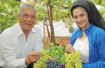 Yılın ilk üzümü Mezitli'de toplanmaya başlandı